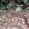 King Snake Protecting Our Property From Rattlesnakes  8-9-1993