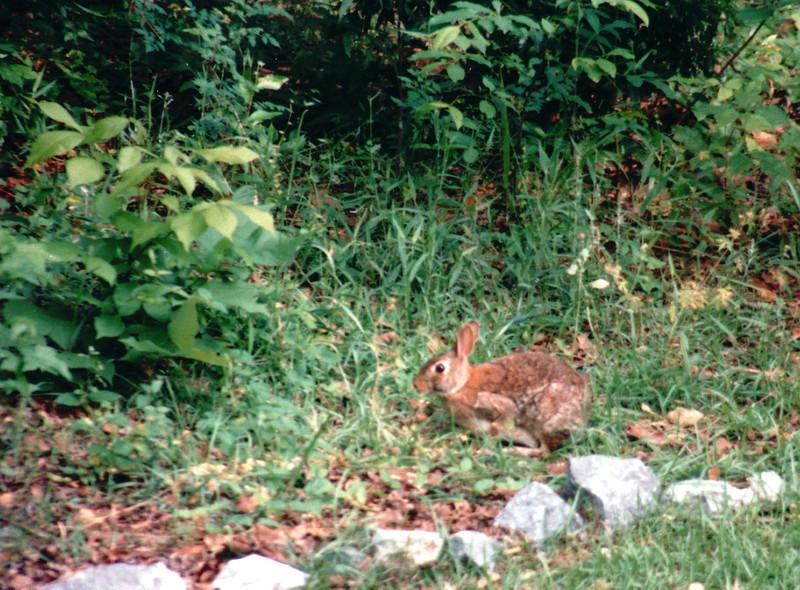 Rabbit in Wild Part of Backyard - April 1994