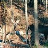 Two Male Buck Deer in Backyard - Feb. 2000