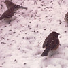 Rufous-sided Towhee and American Goldfinches - Snowstorm in Alabama - 6 Inches of Snow  3-12-93