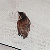Baby Wren Landed on Cedar Siding on First Flight   5-18-95<br /> Hey Mom!  Help!