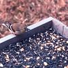 American Goldfinch in Feeder in Backyard - February 1993