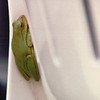 Green Treefrog on Chair on Back Porch - May 1993<br /> Snoozing behind a plastic chair on back porch.