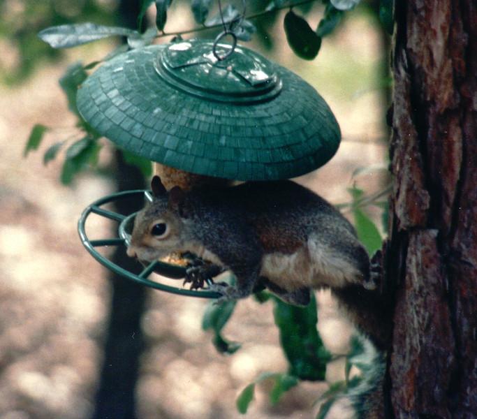 Squirrel on Birdfeeder - May 1994