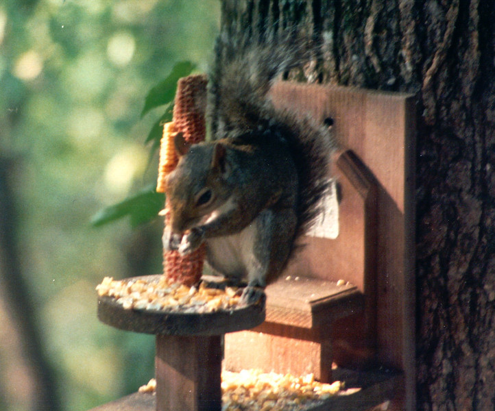 Squirrel on Corn Feeder Outside Master Bedroom - May 1994