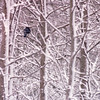 Blue Jay in the Forest - Snowstorm in Alabama - 6 Inches of Snow  3-12-93