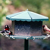 Two Visiting Rose-breasted Grosbeak and Female Cardinal  - Last Photo Shoot of The Refuge Before Moving to Virginia - Oct. 2000