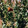 Fritillary Butterfly on Abelia Bush - August 1996