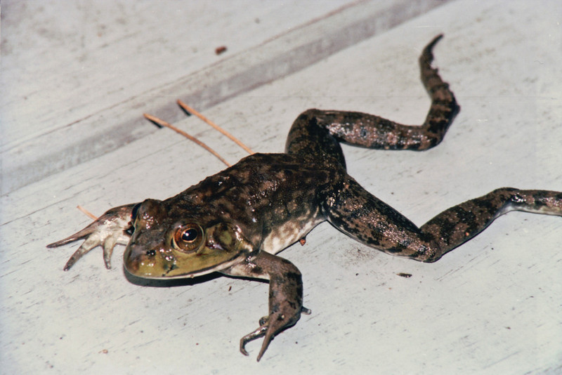 Female Bullfrog That Fijo Brought to Me Unharmed - March 1995