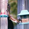 Squirrel Stretch to Feeder - Oct. 1998
