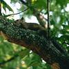 Squirrel Taking An Afternoon Siesta - June 1995