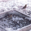 Titmouse in Tray Feeder - Snowstorm in Alabama - 6 Inches of Snow  3-12-93
