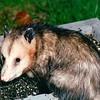 Opossum in Feeder Tray  4-5-1996