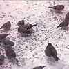 Towhee, Goldfinches & Sparrow - Snowstorm in Alabama - 6 Inches of Snow  3-12-93