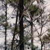American Goldfinch in Backyard - March 1993