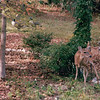 Female Deer in Backyard  11-12-97