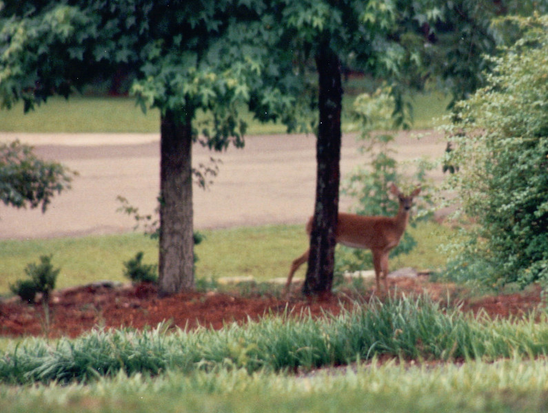 Deer in Surles Yard (Neighbor)  6-13-94