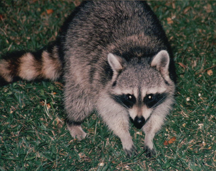 Raccoon in Backyard Beside Porch - Nov. 1994