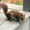 Squirrel on Back Porch - March 1995