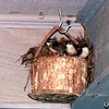 Wren Family Ready to Fledge - So Precious to Watch  5-18-95