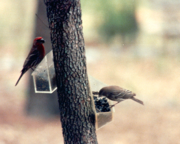 Male Finch on Left and Female on Right - May 1994