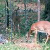 Deer in Backyard - May 1997