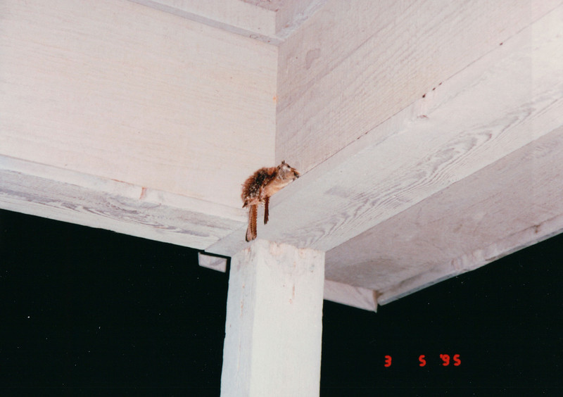 Pair of Wrens Sleeping in Corner of Front Porch - March 1995