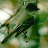 Possible Phoebe (Flycatcher) - No Date Known For This Photo