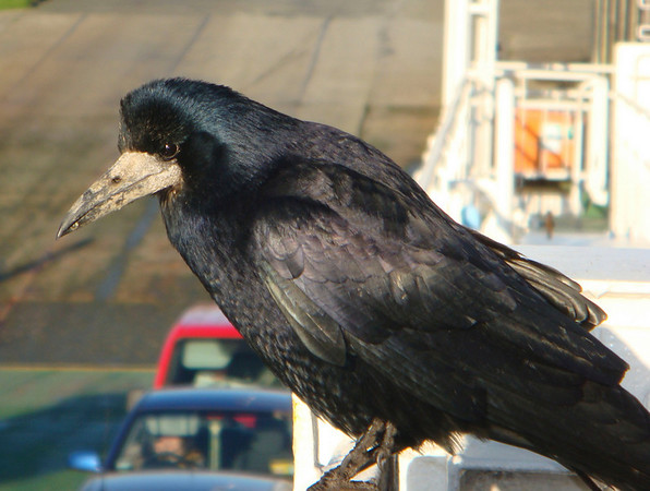 Crows were a requisite part of the Ferry ride - and, if you had food...