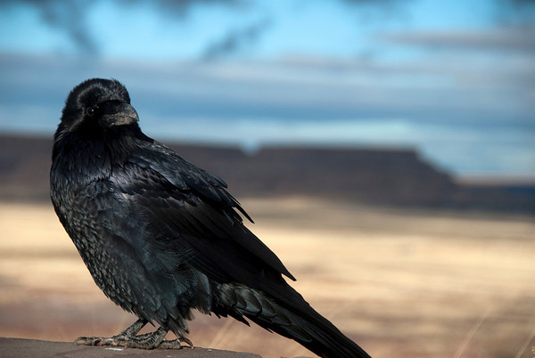Raven in the Grasslands