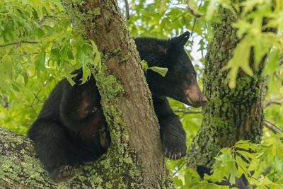 Bears in Cades Cove