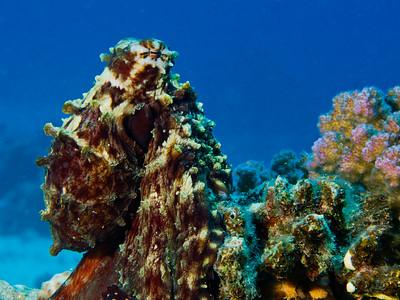 Cephalopodes