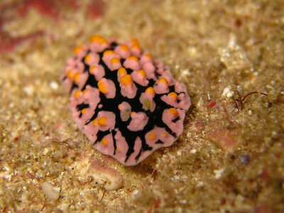 fryeria ruppellii strange color