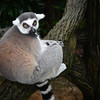 A Ring-Tailed Lemur