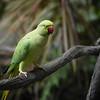 The Alexander Parakeet