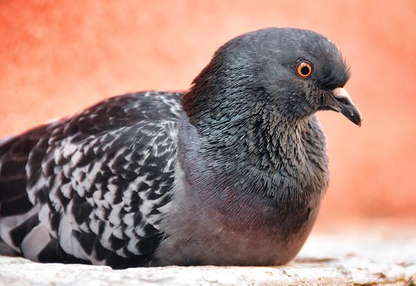 A Venetian Pigeon