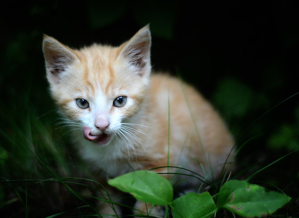 A Hungry Kitten