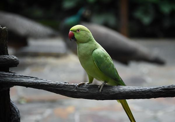 A Jurong Parakeet