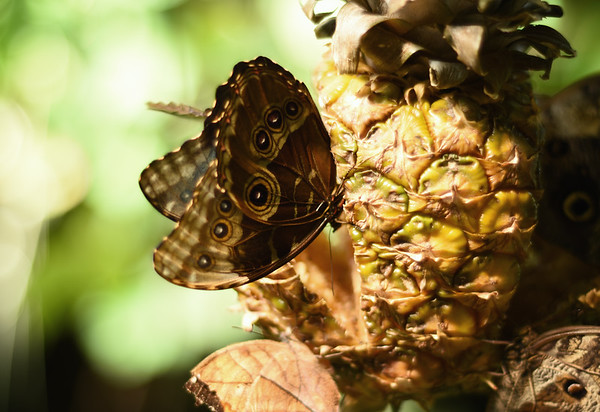 A Pineapple Butterfly