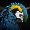 A Macaw in Asia
