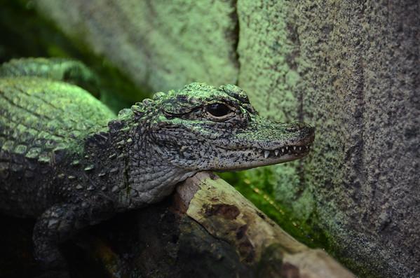 The Chinese Alligator II