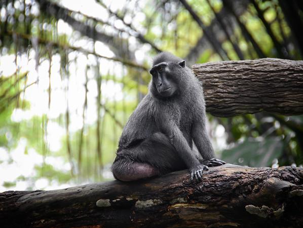 A Pondering Macaque