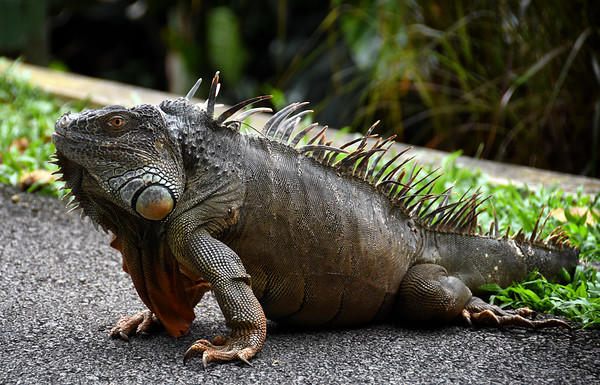 A Jurong Iguana