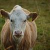A Field Cow