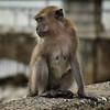 A Pondering Monkey