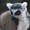 A Bandit Lemur