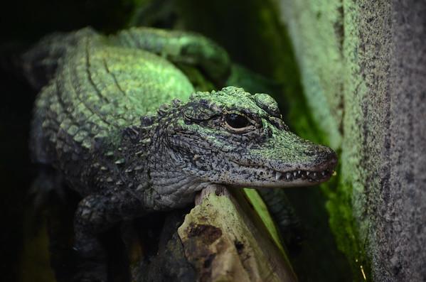 The Chinese Alligator I