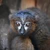 A Curious Lemur