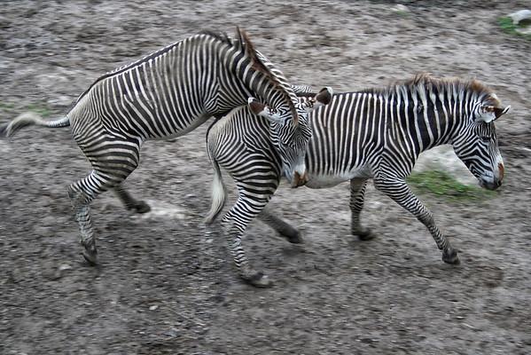 Galloping Zebras
