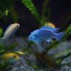 A Blue Fish